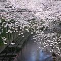 写真: 2010年目黒川・桜03
