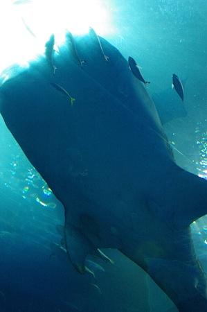 頭上を泳ぐジンベイザメ