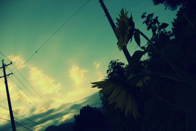 朝、向日葵、空