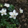 白い花びらは??萼の変化です